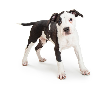 Cute black and white Pit Bull Terrier crossbreed puppy dog standing and looking at camera 版權商用圖片