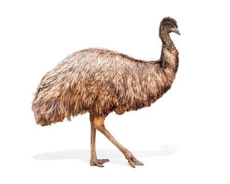 Large Emu bird facing side walking. Extracted photo isolated on white background.