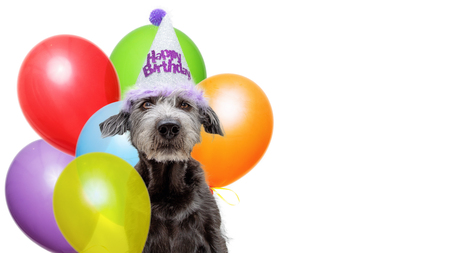 Funny scruffy dog wearing Happy Birthday party hat with a bouquet of colorful balloons. Web banner with room for text.