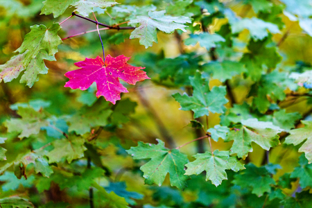 One red maple leaf among green leaves indicating change of season
