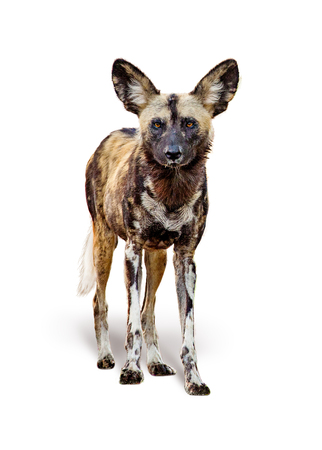 African painted wild dog standing facing forward looking at camera. Isolated on white background. Standard-Bild
