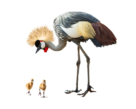 Grey Crowned Crane bird looking down at two baby chicks. Isolated on white background. Banco de Imagens