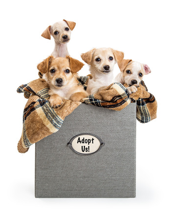 Four cute terrier and Chihuahua mixed breed puppies in a box with Adopt Us sign.