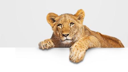 Lindo cachorro de león joven con patas colgantes sobre letrero blanco en blanco o abnner web