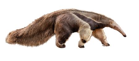 Animal del zoológico oso hormiguero caminando hacia el lado. Foto extraída aislada sobre fondo blanco.