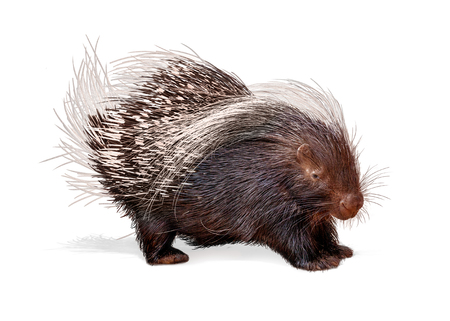 Porcupine facing side isolated on white background Stock Photo