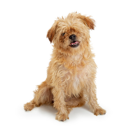 Cute medium size brown shaggy terrier and Lhasa Apso dog sitting on white