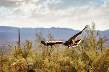 Beautiful Harris hawk bird soaring over Arizona desert 版權商用圖片