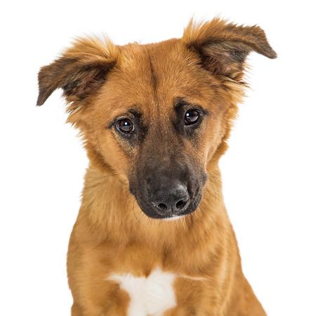 Closeup of cute brown medium size mixed breed young dog looking at camera