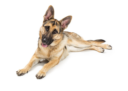 German Shepherd dog with happy and attentive expression tilting head and looking at camera