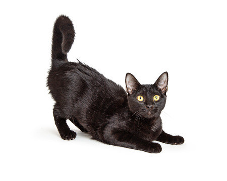 Cute playful black cat lying with back end and tail in air