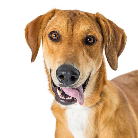 Closeup photo of a happy and smiling yellow Labrador crossbreed dog looking at camera