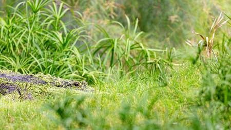 American alligator hiding in tall green grass with room for text