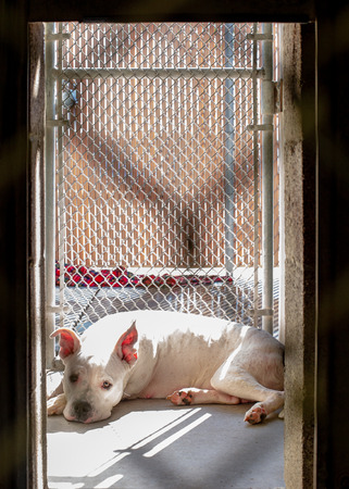 Lonely sad pit bull terrier dog lying in sunlight in an outdoor kennel at an animal shelter