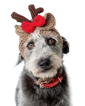 Funny photo of dog wearing knit Christmas reindeer winter hat