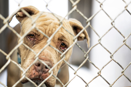Closeup of face of sad old pit bull dog with crusty infecteed eyes looking out fence at animal shelter