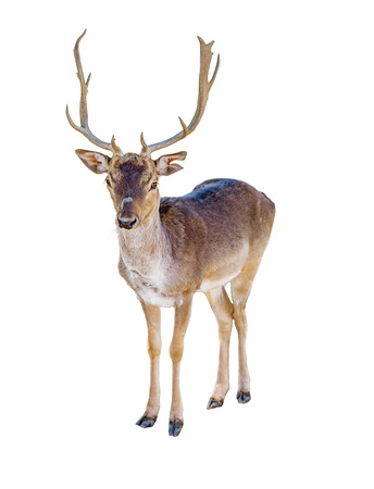 Reindeer isolated on white background Standard-Bild