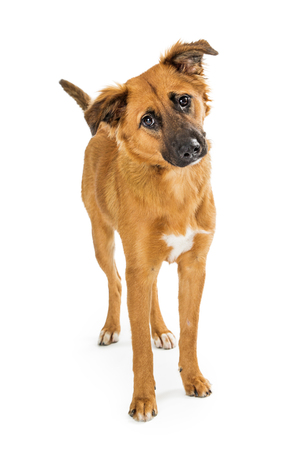 Cute brown medium size dog standing on white background looking forward tilting head