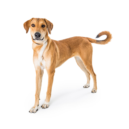 Yellow mixed breed dog standing on white background looking at camera Stock Photo