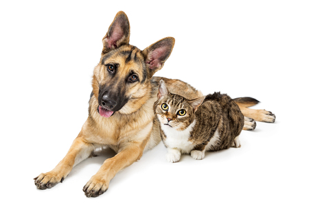 Large Belgian Malinois shepherd dog and tabby and white cat lying together on white