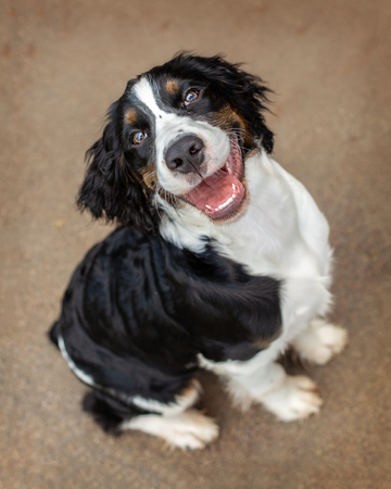Overhead view of cute English Springer Spaniel purebred dog sitting and looking up with happy smiling expression Reklamní fotografie