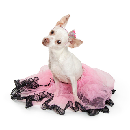 Cute white color Chihuahua dog wearing pink and black pretty tutu and crown headband