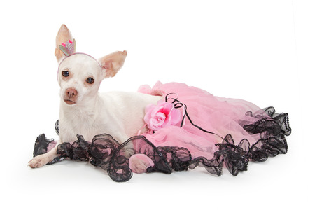 Pretty white color Chihuahua dog wearing pink tutu and crown heeadband lying down on white background