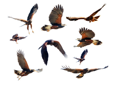 Collection of Harris Hawk photos in various flying and soaring positions for compositing Imagens