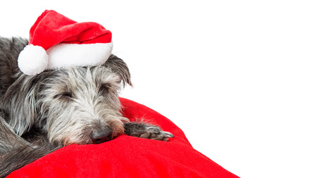 Tired dog wearing Santa hat lying on red Christmas bed sleeping. Isolated on white with copy space.