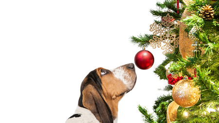 Closeup Basset Hound dog looking at decorated Christmas tree ornament