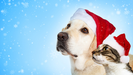 Christmas Yellow Labrador dog and cat together wearing Santa Claus hats looking to side with room for text