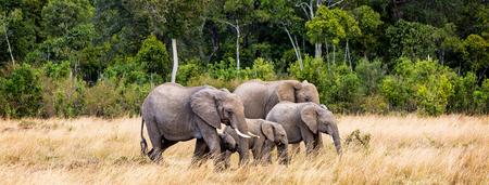 Family of African Elephants walking through grasslands of Kenya, Africa Stock fotó