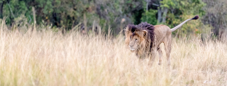 Famous African Lion named Scar walking into the tall grass of the Masai Mara in Kenya, Africa. Horizontal web banner