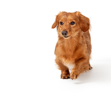 Young longhair Dachshund dog running towards camera on white background