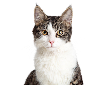Closeup portrait pretty young tabby and white cat isolated on white background facing and looking forward.
