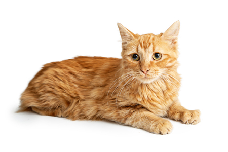 Cute orange tabby cat lying down on white looking forward