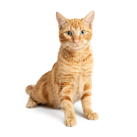 Cute orange tabby cat sitting up tall on white background