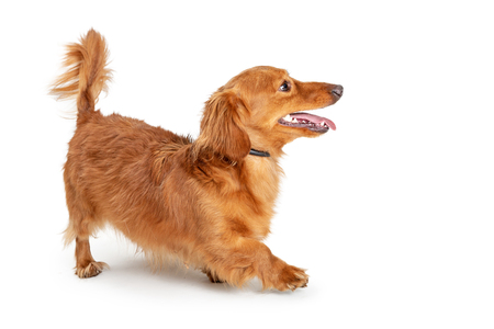 Cute young playful longhair Dachshund dog walking over white background Stock Photo