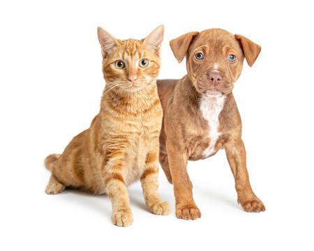Lindo perrito pequeño y joven gato naranja juntos sobre fondo blanco.