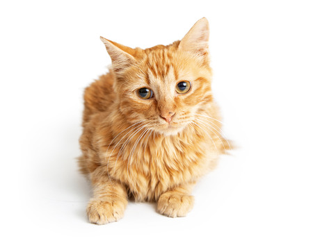 Cute orange tabby cat lying down tilting head with sweet expression