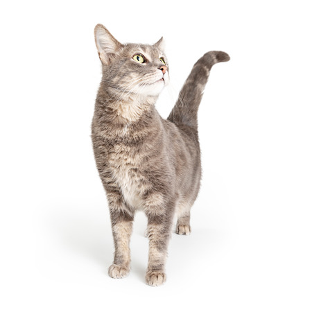 Curious cute grey tabby cat standing stretching neck up and looking to side. Isolated on white background.