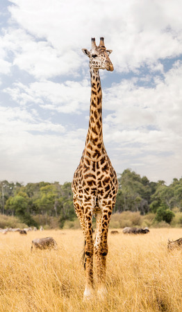 Single Masai giraffe standing tall in Kenya grassland field