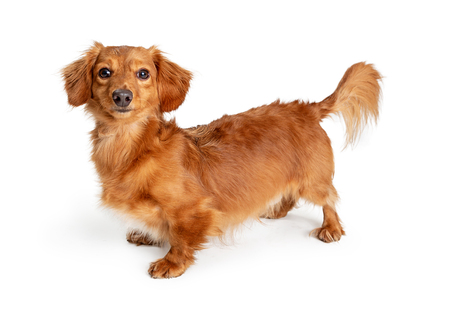 Cute little longhair Dachshund crossbreed dog standing on white looking at camera Stock Photo