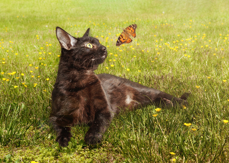 Black cat lying in field of flowers looking at butterfly flying 스톡 콘텐츠
