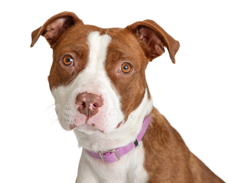 Closeup photo of a brown and white color mixed Pit Bull breed dog looking at camera