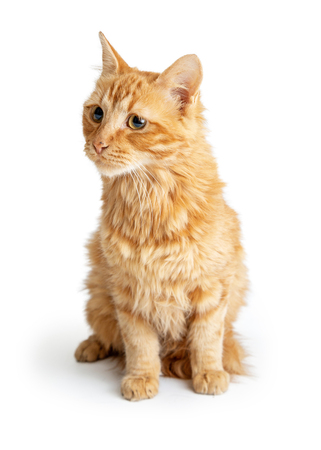 Orange tabby cat sitting on white background looking to side