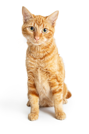 Cute friendly orange tabby cat sitting on white background looking at camera