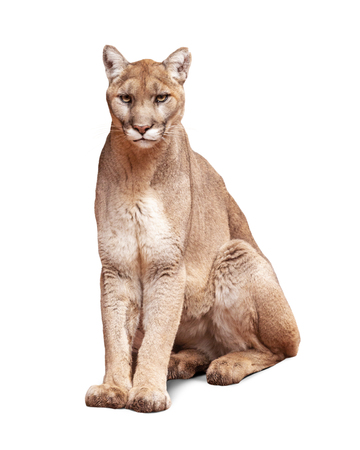 Mountain Lion sitting looking at camera. Isolated on white. Archivio Fotografico