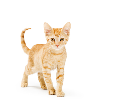 Orange kitten walking and looking forward with white room for text