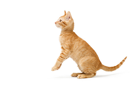 Cute young orange striped tabby kitten sitting up raising paws facing side